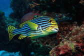 Oriental sweetlips (Plectorhinchus orientalis) — Stock Photo