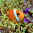 Maldive anemonefish — Stock Photo #21005329