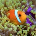 Maldive anemonefish — Stock Photo #21005329