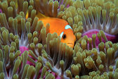 Maldive anemonefish — Stock Photo