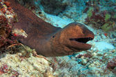 Giant moray — Stock Photo