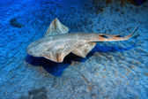 Angelshark — Stock Photo