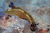 Limace de mer colorée — Photo