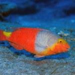 European parrotfish — Stock Photo #28081387