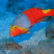 European parrotfish — Stock Photo