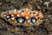Lesma do mar — Foto Stock