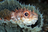 Shortspine porcupinefish — Stock Photo