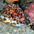 Tiger cowrie — Stock Photo