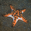 Horned sea star — Stock Photo