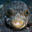 Narrow-lined puffer — Stock Photo