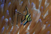 Banggai cardinalfish — Stock Photo