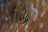 Banggai cardinalfish — Stock Photo