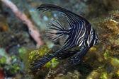 Humpback batfish — Stock Photo