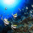 Shoal of longfin bannerfish — Stock Photo #42662191
