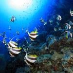 Shoal of longfin bannerfish — Stock Photo #42662191