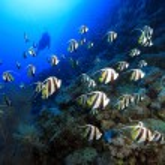 Shoal of longfin bannerfish — Stock Photo #42662263