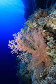 Bellissimo corallo molle — Foto Stock