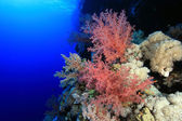Beautiful soft coral — Stock Photo