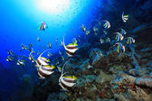 Shoal of longfin bannerfish — Stock Photo