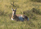 Pronghorn resting in the grass of Yellowstone National Park — Stockfoto