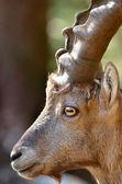 Male Mountain Ibex — Stock Photo