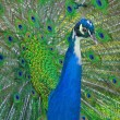 Magnificent Peacock — Stock Photo