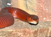 Red Spitting cobra — Stock Photo