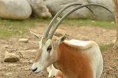 Scimitar Horned Oryx — Stock Photo