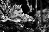 O lobo — Foto Stock
