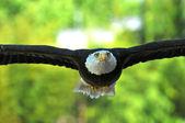 Eagle head on — Stock Photo
