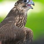 ������, ������: Saker Falcon