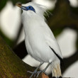 Bali Starling - Foto Stock