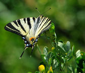 The Sail swallowtail — Stock Photo