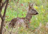 Vigilant roe deer — Stock Photo