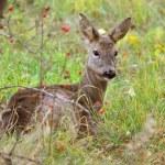 Roe deer looking alert — Stock Photo #48457331