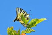 Motyl paź żeglarz — Zdjęcie stockowe