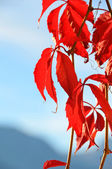 Virginia Creeper — Stock Photo
