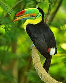 Tęcza tukan — Zdjęcie stockowe