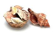 Conchas de moluscos marinhos — Fotografia Stock