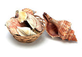 Conchas de moluscos marinhos — Foto Stock