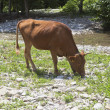 The bull is grazing in a mountain river — Stock Photo