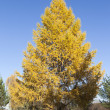 Larch in autumn — Stock Photo
