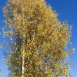Autumn birch against blue of sky — Stock Photo #35068165