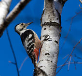 White-backed woodpecker — Stock Photo