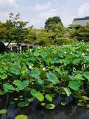 A Lotus pond in kyoto — Stock Photo