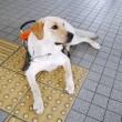 Guide dog with guide brick Guide dog with guide brick — Stock Photo