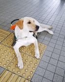 Guide dog with guide brick Guide dog with guide brick — Stock Photo