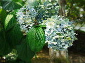 Green hydrangea in kyoto — Stock Photo
