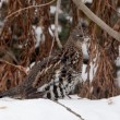 Stock Photo: Ruffed Grouse