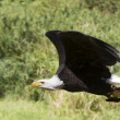 Bald eagle flying — Stock Photo